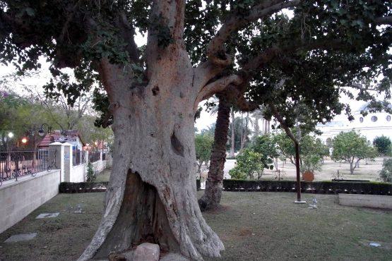 35 Jericho Baum des Zachaeus R0021691 555x370 - Israel 2015