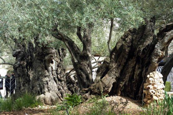 45 Jerusalem Garten Getsemane R0021763 555x370 - Israel 2015