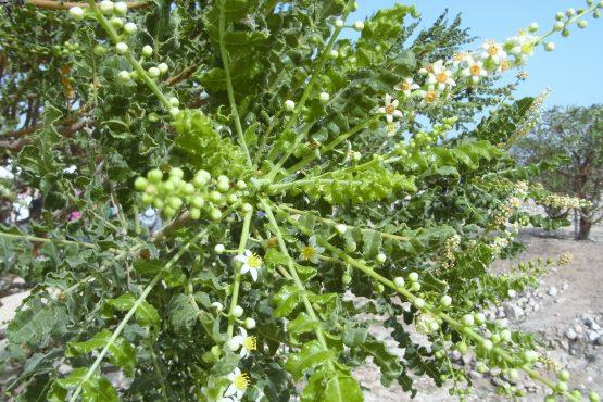 Fahrten 2019 Oman 49 Salalah al Baleed Weihrauchbaumblüten RFH R0045141 555x370 - Oman 2019