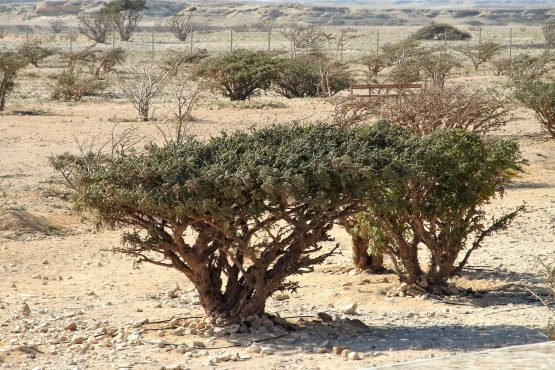 Fahrten 2019 Oman 68 Wadi Dhawka Weihrauchbaum RFH R0045475 555x370 - Oman 2019